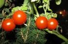 Сорт томата: Варяг