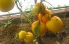 Сорт томата: Ваще величество