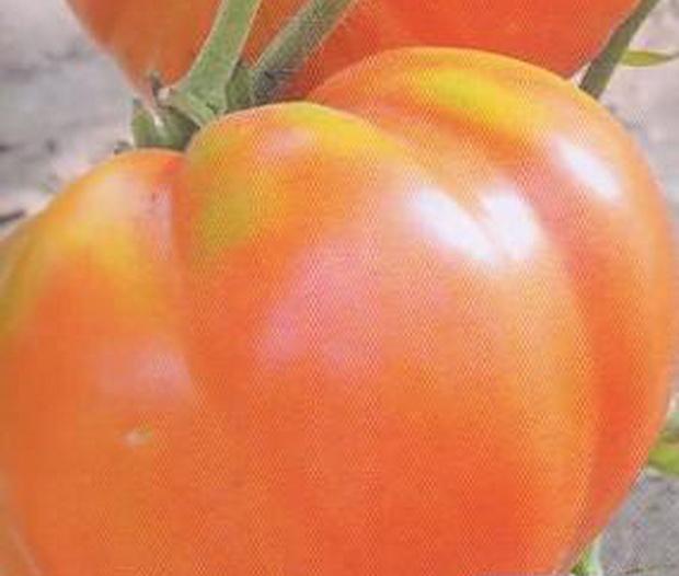 Сорт томата: Вася-василек
