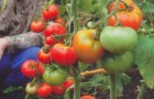 Сорт томата: Важная персона f1