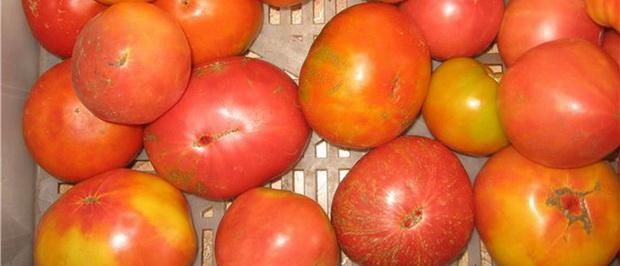 Сорт томата: Великий воин