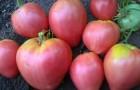 Сорт томата: Вельможа