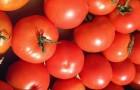 Сорт томата: Венец