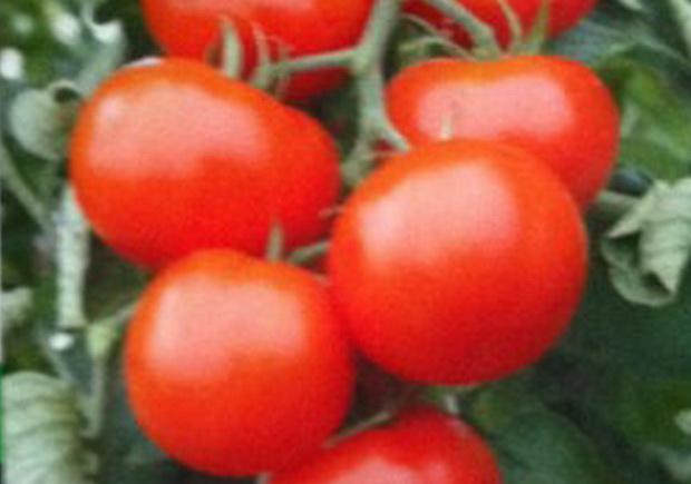 Сорт томата: Венеция   f1