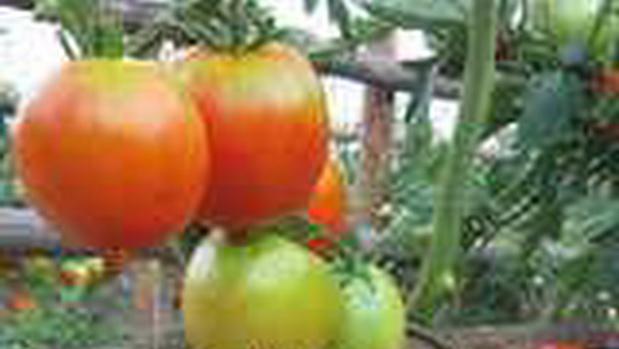 Сорт томата: Вера