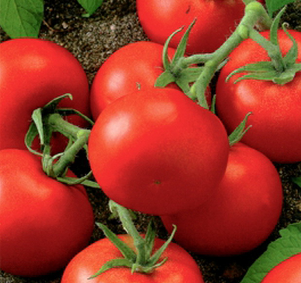 Сорт томата: Верность   f1