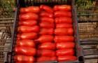 Сорт томата: Веселый гном