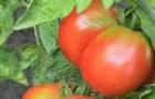 Сорт томата: Весенняя радость