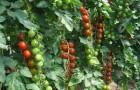 Сорт томата: Весна севера f1