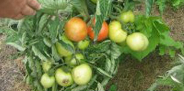 Сорт томата: Везунчик   f1