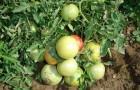 Сорт томата: Викинг