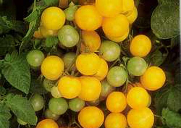 Сорт томата: Вишня желтая