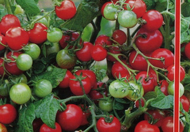 Сорт томата: Внученька