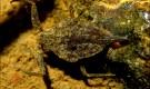 Водяной скорпион пепельно-серый