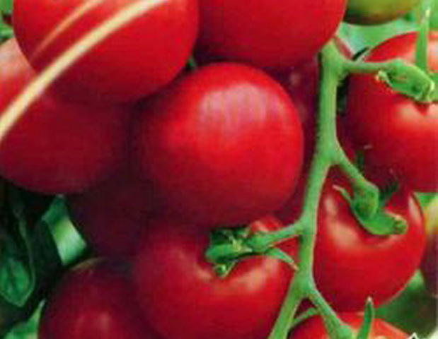 Сорт томата: Вологда   f1