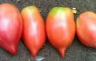 Сорт томата: Воловьи уши