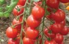 Сорт томата: Волшебный каскад f1