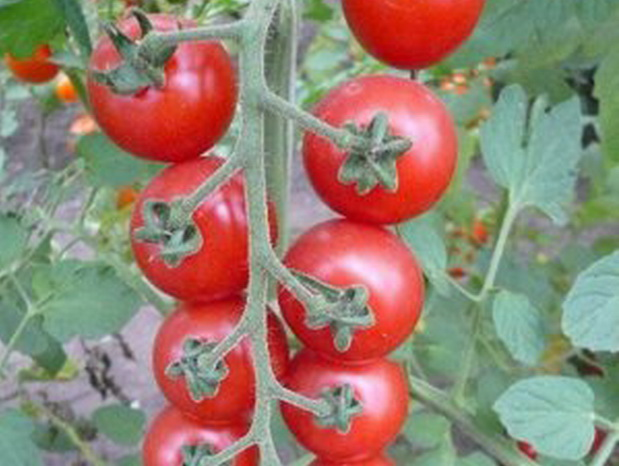 Сорт томата: Воробушек   f1