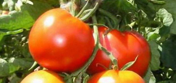 Сорт томата: Восторг