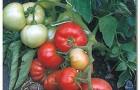 Сорт томата: Вождь краснокожих