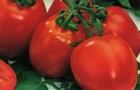 Сорт томата: Вундеркинд f1