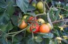 Сорт томата: Взрыв