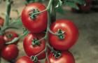 Сорт томата: Жадело f1