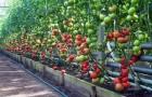 Сорт томата: Жасминия f1