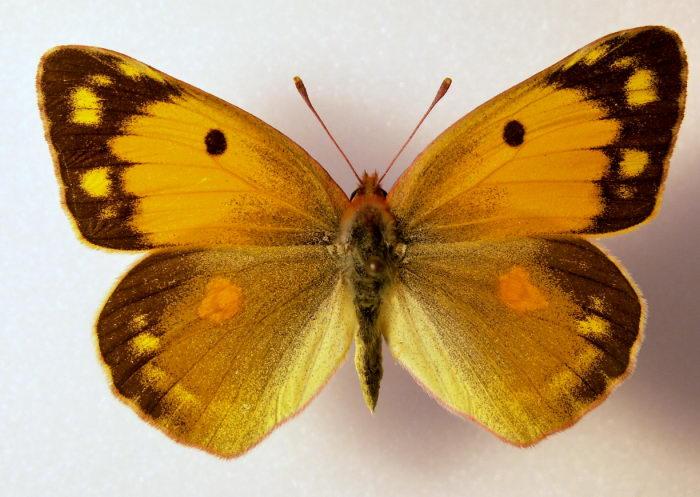 Желтушка мирмидона, или ракитниковая