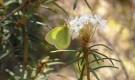Желтушка торфянниковая