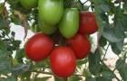 Сорт томата: Жемчужина сибири