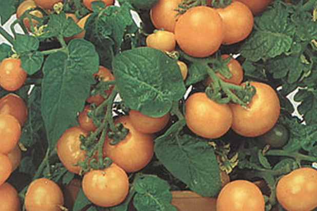 Сорт томата: Жемчужина желтая
