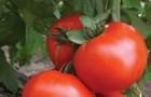 Сорт томата: Женушка f1