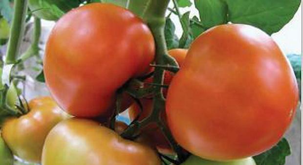 Сорт томата: Жеронимо   f1