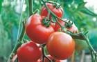 Сорт томата: Жонглер f1