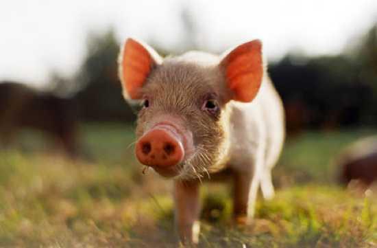 Заболевание свиней – Акантоцефалезы