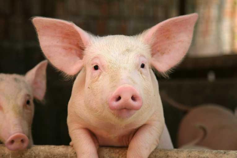 Заболевание свиней – Аскаридоз