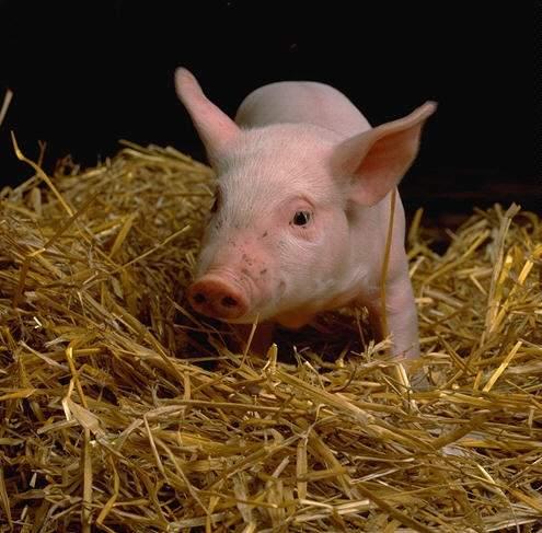 Заболевание свиней – Бруцеллез