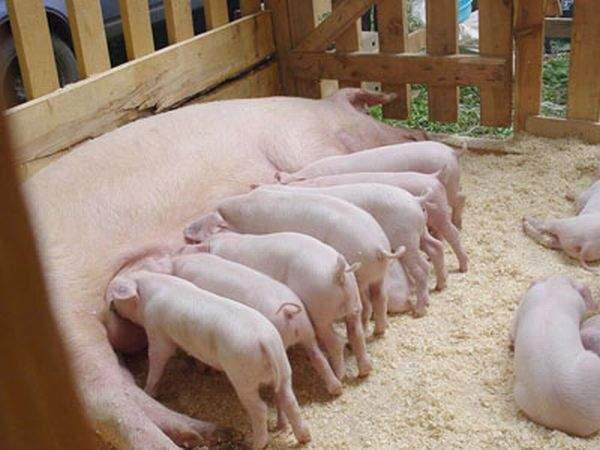 Заболевание свиней – Эризипелоид (рожа свиней, краснуха свиней)
