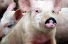 Заболевание свиней – Эшерихиоз поросят