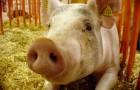Заболевание свиней – Эзофагостомоз