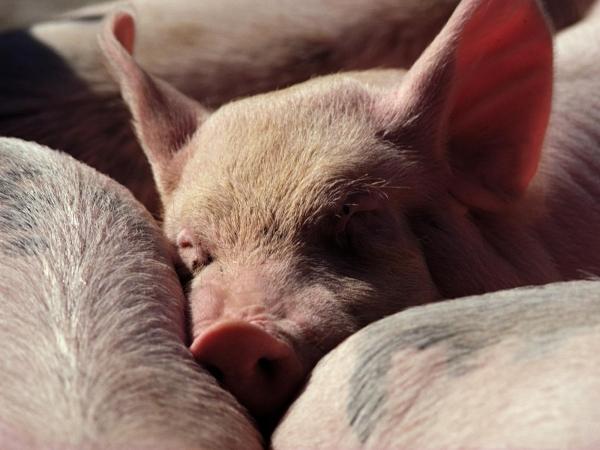 Заболевание свиней – Гематопиноз (вшивость)