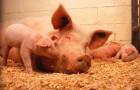 Заболевание свиней – Капилляриоз печеночный