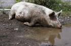 Заболевание свиней – Метастронгилез