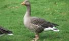 Заболевания гусей – Катар зоба