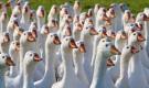 Заболевания гусей – Клоацит