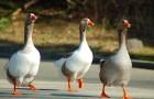 Заболевания гусей – Сальмонеллез (паратиф)