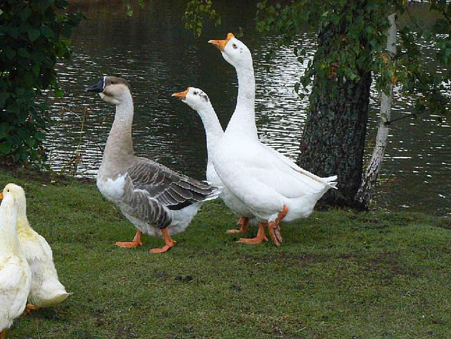 Заболевания гусей – Стоматит