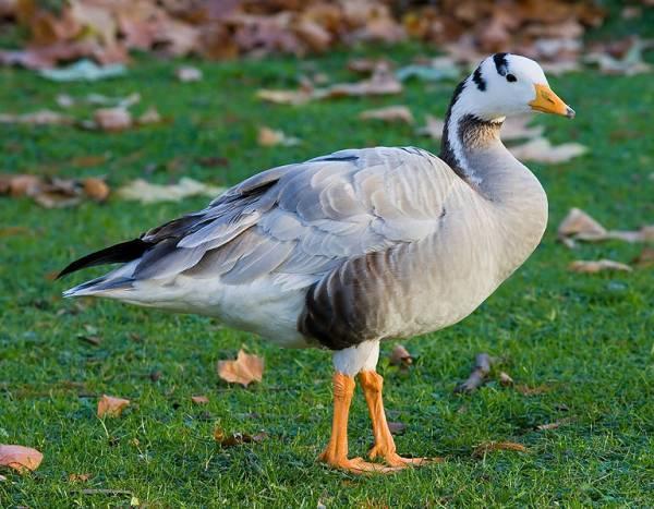 Заболевания гусей – Желточный перитонит