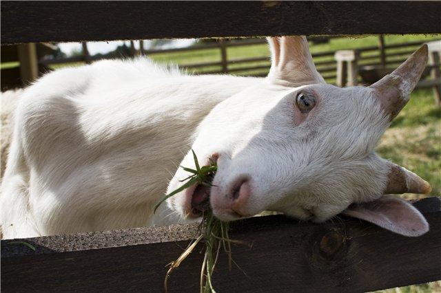Заболевания коз, связанные с неправильным кормлением – Колики